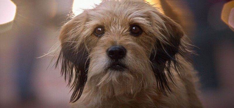 WHAT BREED OF DOG IS BENJI, THE CANINE SUPERSTAR?