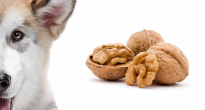 CAN DOGS EAT WALNUTS? DOG DIET QUESTIONS ANSWERED