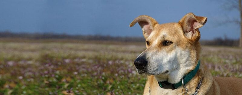 WHAT IS A CAROLINA DOG? THIS BEAUTIFUL BREED EXPLAINED