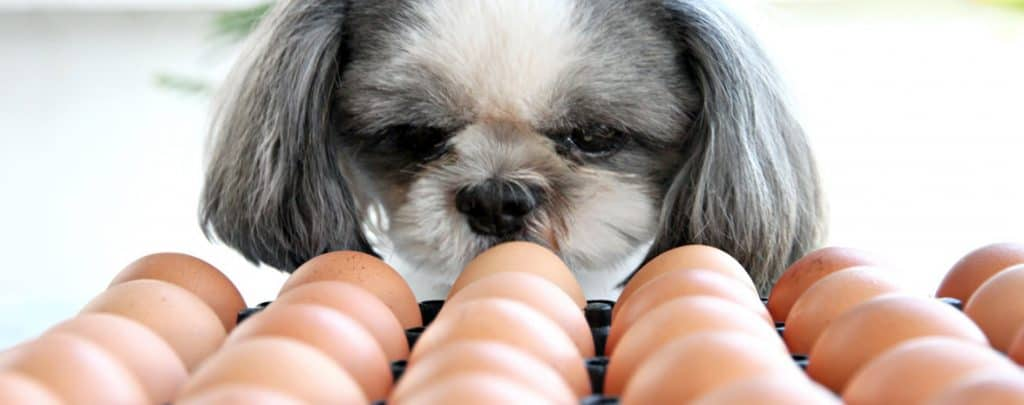 CAN DOGS EAT EGGS? THE QUESTIONS YOU WANT ANSWERED