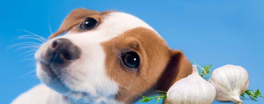 CAN DOGS EAT GARLIC? DOG NUTRITION EXPLAINED