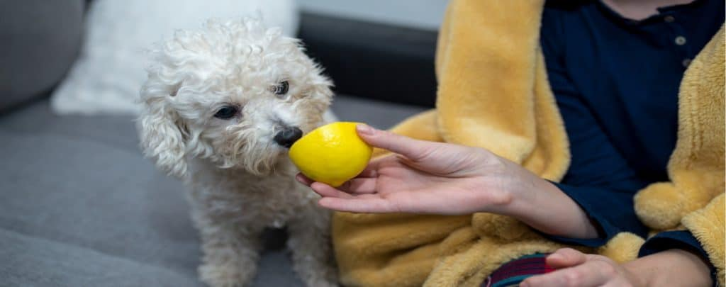 CAN DOGS EAT LEMONS? YOUR QUESTIONS ANSWERED