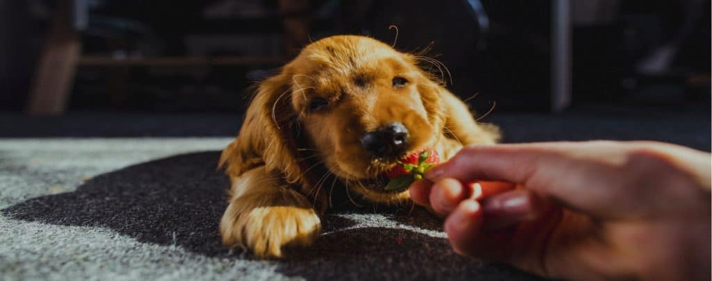 CAN DOGS EAT STRAWBERRIES? ALL THE FACTS.  My dog loves strawberries!
