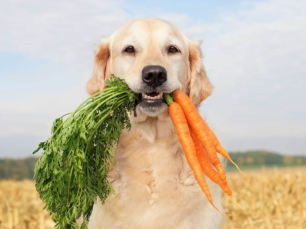 CAN DOGS EAT CARROTS? CANINE NUTRITION EXPLAINED.  My dog loves his daily carrot!
