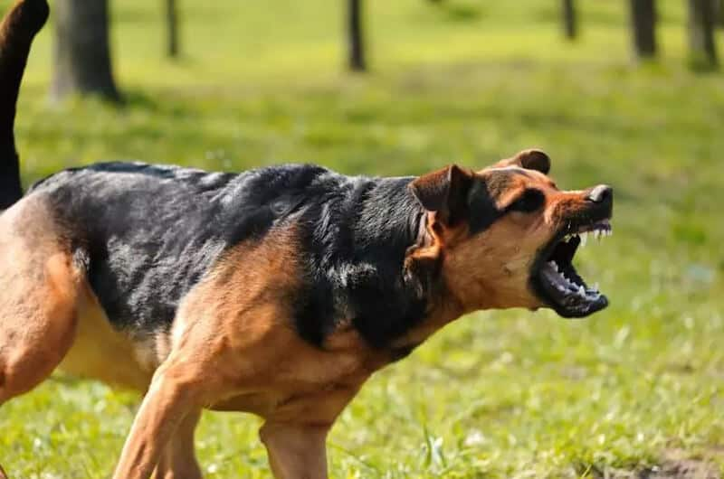 Aggression in Dogs - How To Aggressive Dog Training
