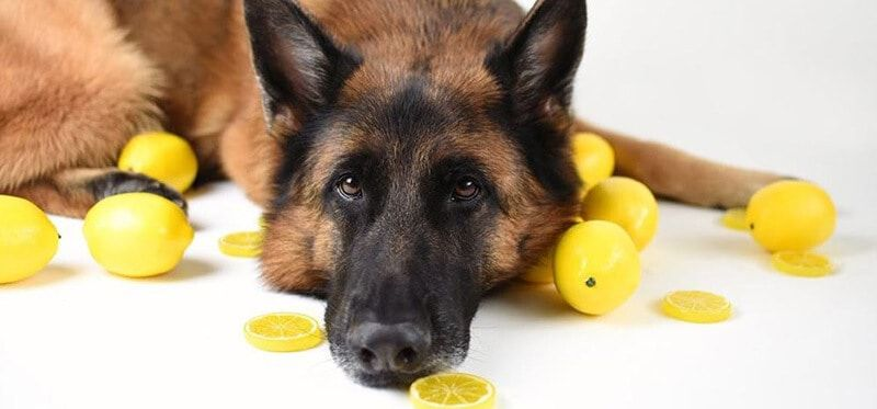 Are Lemons Toxic to Dogs