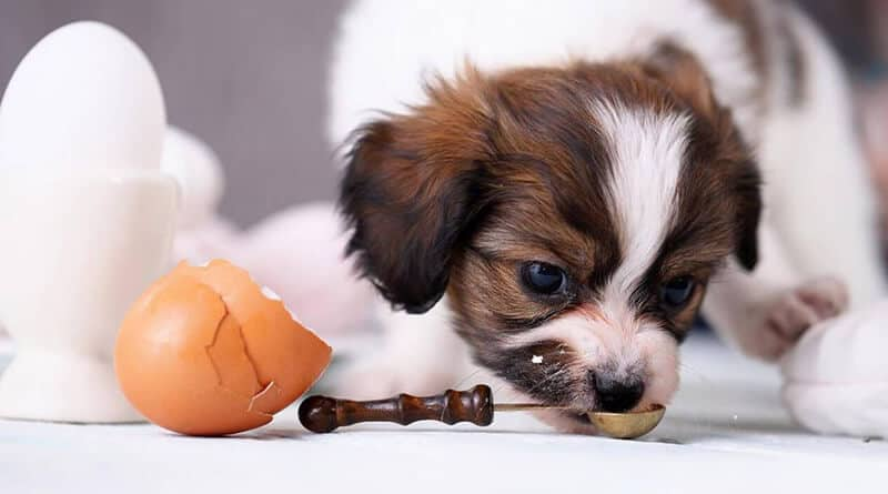 Can Your Dog Eat Scrambled Eggs Daily
