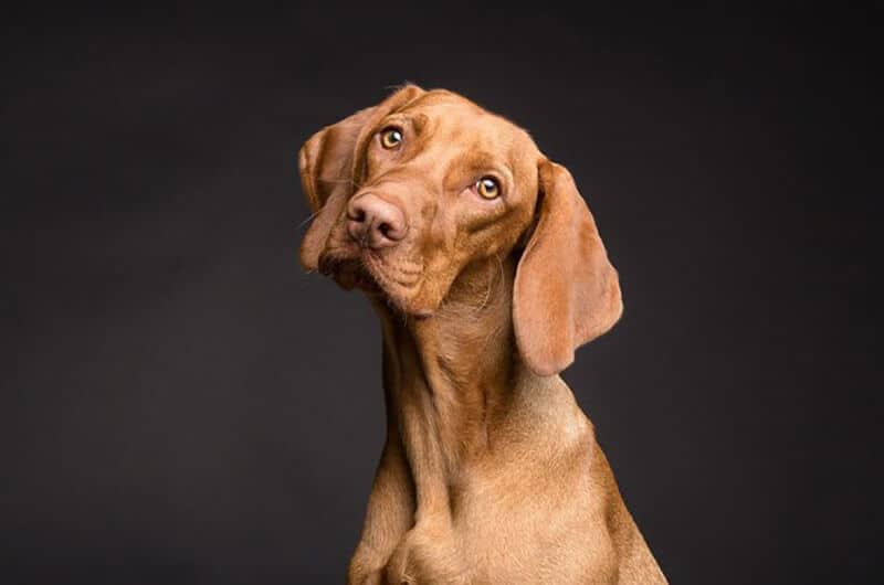 Symptoms and signs in Dogs of CHF